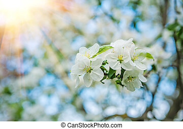 branch of apple tree on blurred background