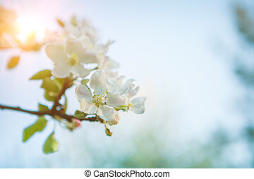 branch of apple-tree with blossomin