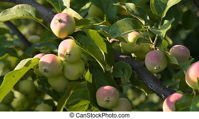Branch of apple tree with fruit
