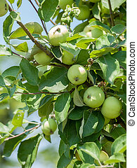 Branch of apple tree with fruits in a garden.