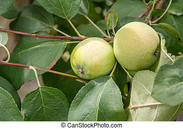 Branch of apple tree with green fruits in a garden.