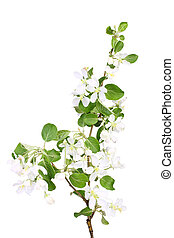 Branch of apple-tree with green leaf and white flowers