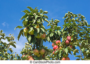 Branch of apple tree with ripe fruits