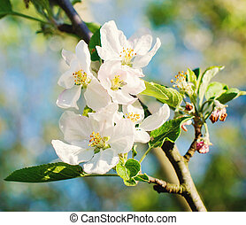 branch of apple tree with white flowers