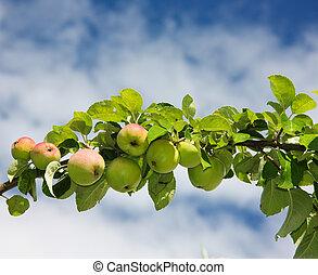 branch of apples