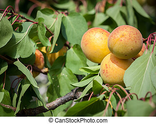 Branch of apricot tree with fruits in a garden.
