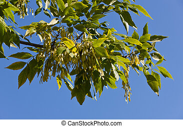 Branch of ash-tree