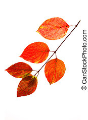 Branch of autumn leaves isolated on white background .