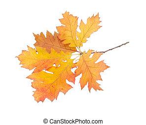 Branch of autumn oak on a light background