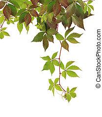 Parthenocissus - Branch of autumn Parthenocissus isolated on...