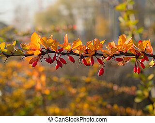 branch of barberry in the foreground
