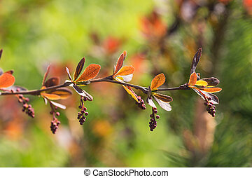 branch of barberry in the spring