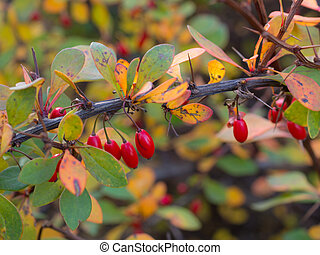 branch of barberry with red berries