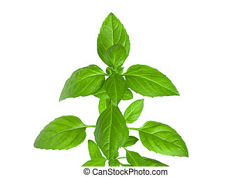 Branch of basil herb leaves isolated on white background