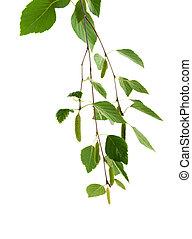 branch of birch on a white background