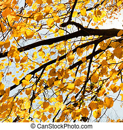 branch of birch tree with yellow leaves