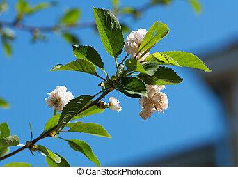 Branch of bird cherry on sky background