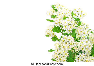 Branch Of Bird Cherry Tree Prunus Padus Isolated On A