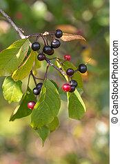bird cherry with ripe berries