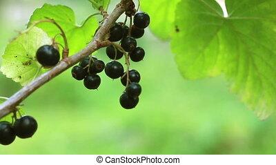 Branch of black currant closeup.