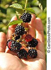 branch of blackberry in the arm - An arm holding growing...