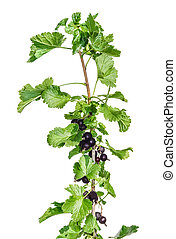 Branch of blackcurrant on a light background