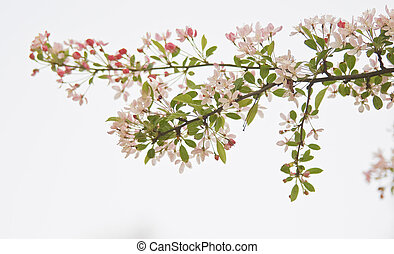 Branch of blossom on white background