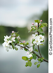 Branch of blossoming apple above the lake