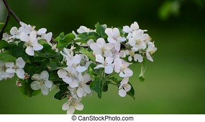 branch of blossoming apple tree in spring