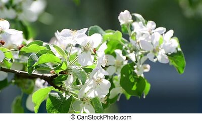 branch of blossoming apple tree In the garden