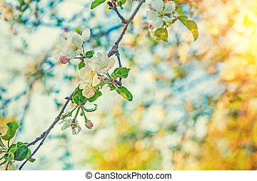 branch of blossoming apple tree on very blurred background  with