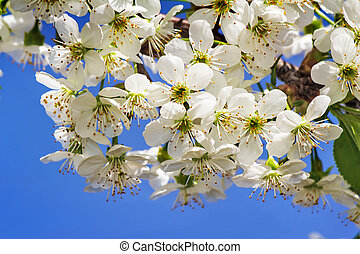 Branch of blossoming cherry against the blue sky.