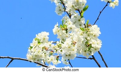 Branch of blossoming cherry. White flowers