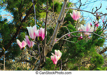 Branch of blossoming magnolia tree. Pink magnolia flowers. Spring time