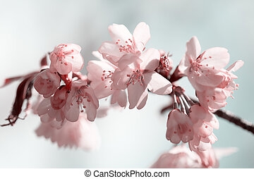 Branch of blossoming Oriental cherry sakura close up against sky