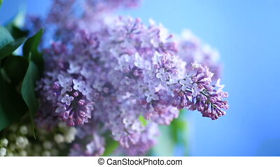 branch of blossoming spring lilac on a blue background