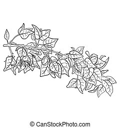 Stylized image of branch of bougainvillea with flowers and leaves isolated on white background