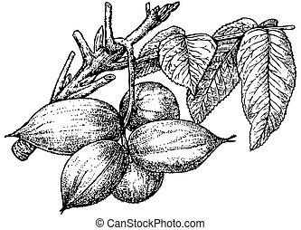 Butternut (White Walnut)