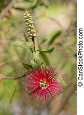 branch of callistemon - Callistemon blossoming branch ...