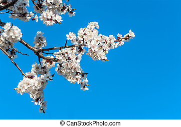 branch of cherry blossoms against the blue sky