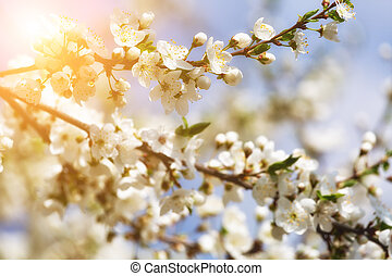branch of cherry blossoms against the blue sun sky