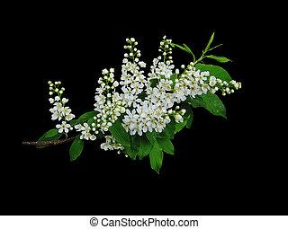 Branch of cherry (Prúnus pádus) with flowers on a black background