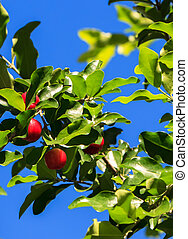 Branch of Cherry Tree against Blue Sky Background in Summer