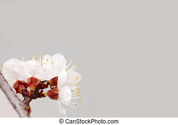branch of cherry tree flowers on a gray background