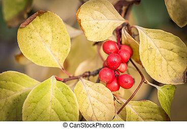 Branch of chinese magnolia vine berries