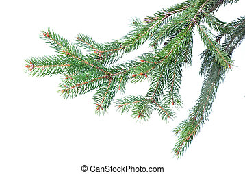 Branch of christmas fir tree isolated on white