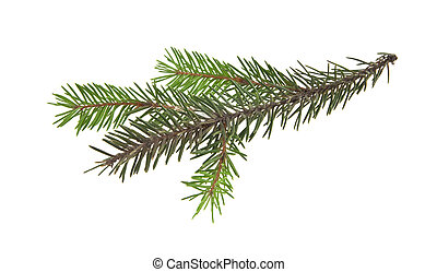 branch of Christmas tree isolated on white background...