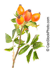 Branch of dog rose isolated over white background