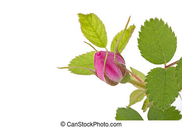 Branch of dog-rose with leaf and one bud and an empty place for your text. Isolated on white background. Close-up.