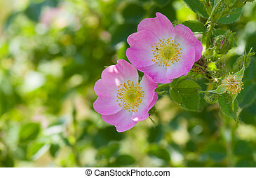 Branch of dog-rose with two pink flowers